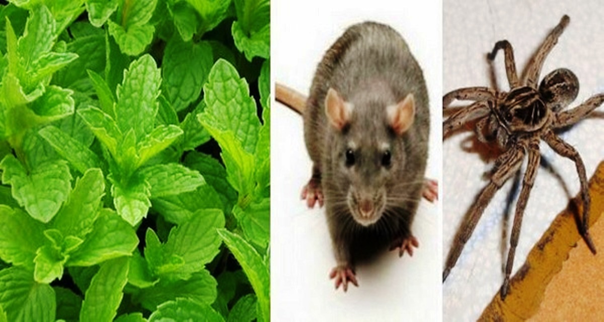 If You Have This Plant In Your House, You Will Never See Mice, Spiders and Other Insects Again