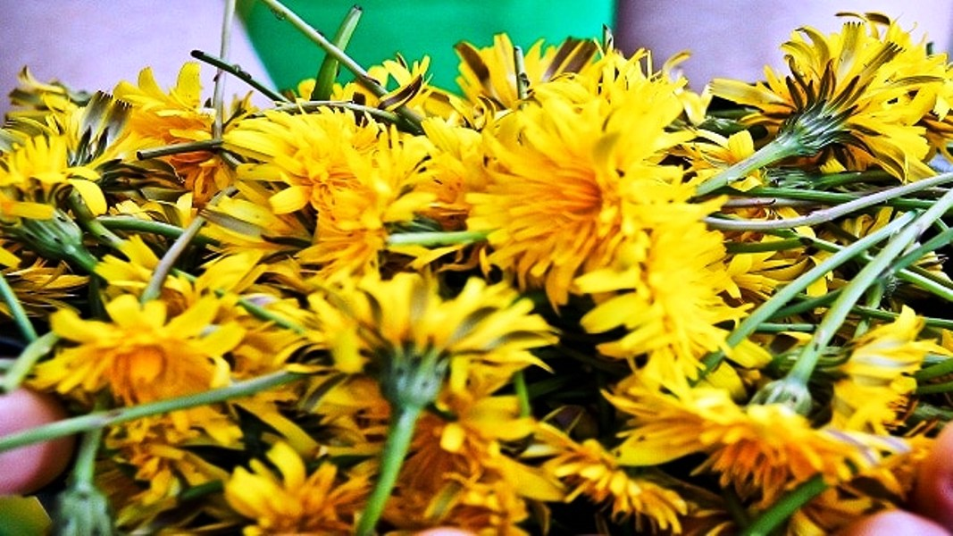 Dandelions Are Not Weeds. They Build Bones Better than Calcium; Cleanse the Liver and Can Treat Eczema and Psoriasis